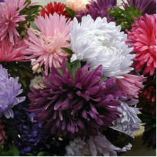 CHRYSANTHEMUM ASTER MIX