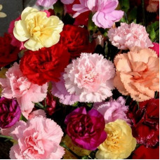 CARNATION GARDEN SHABO MIX