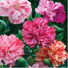 CARNATION GARDEN STRIPE MIX