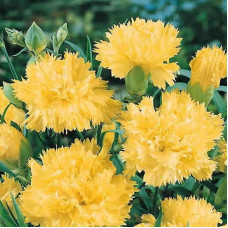CARNATION GRENADINE YELLOW