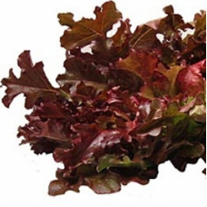 BABY LEAF LETTUCE CURLY RED