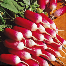 FRENCH RADISH 18 DAYS