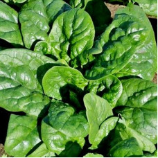 SPINACH NOBEL GIANT