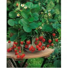 ALPINE STRAWBERRY ALEXANDRIA