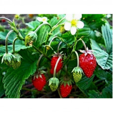 ALPINE STRAWBERRY RUEGEN