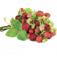 ALPINE STRAWBERRY WALDSTEINCHEN