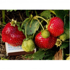 GARDEN STRAWBERRY TEMPTATION